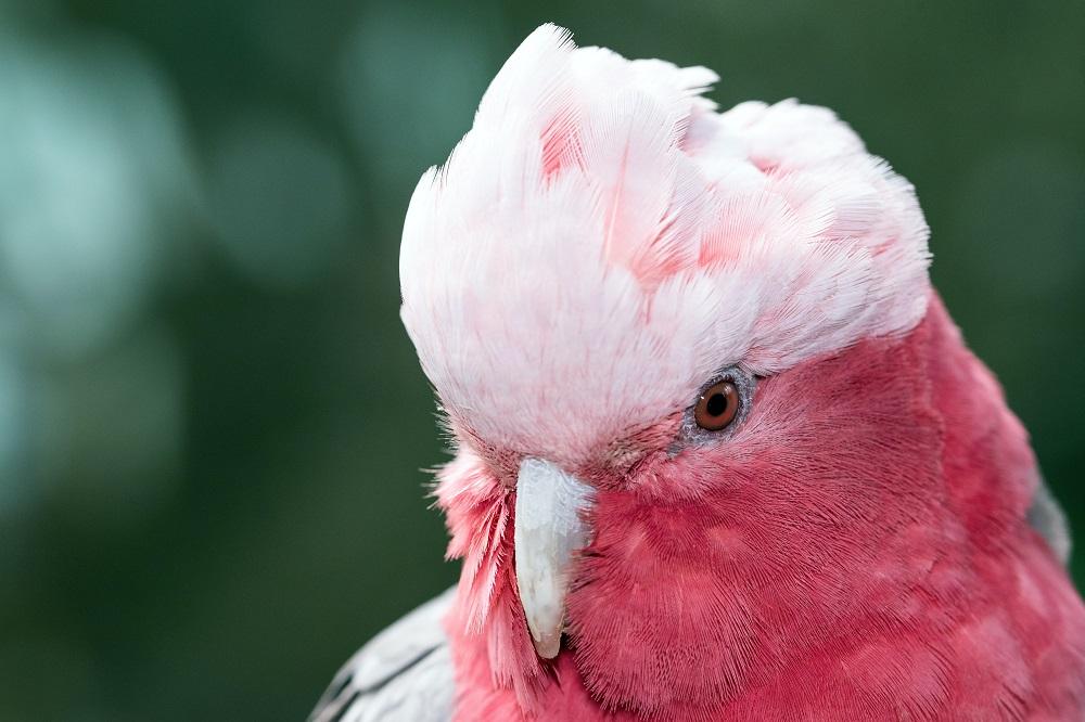 Headshot of pink Galah cockatoo
