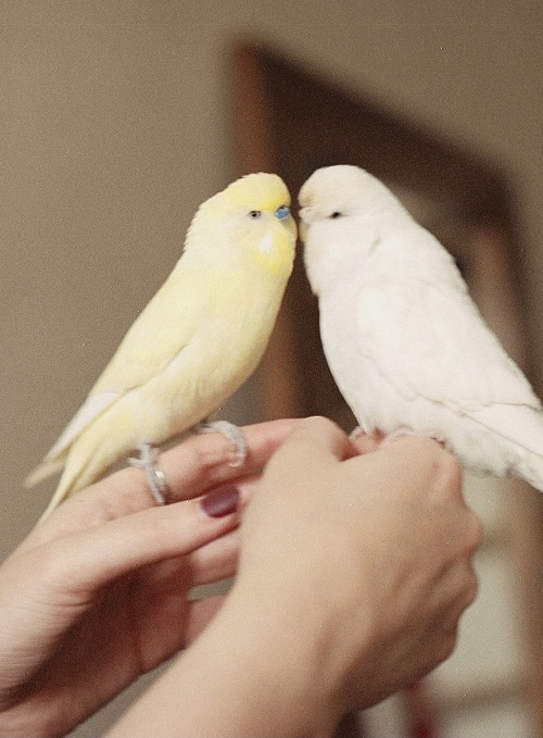 Male and female budgerigar   What to do about a hormonal parrot