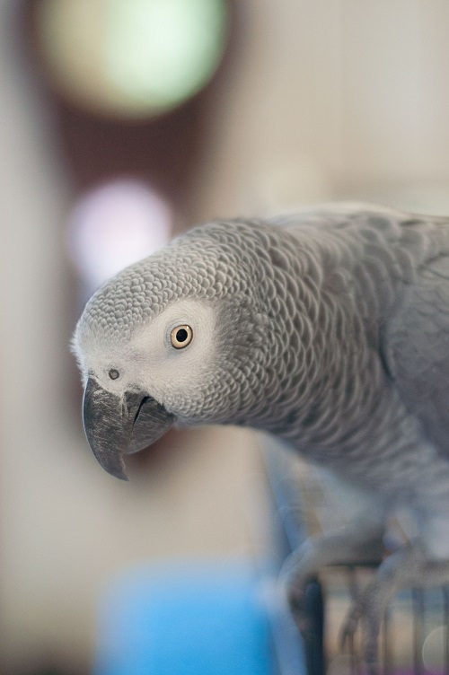 African grey parrot | All about aspergillosis in parrots
