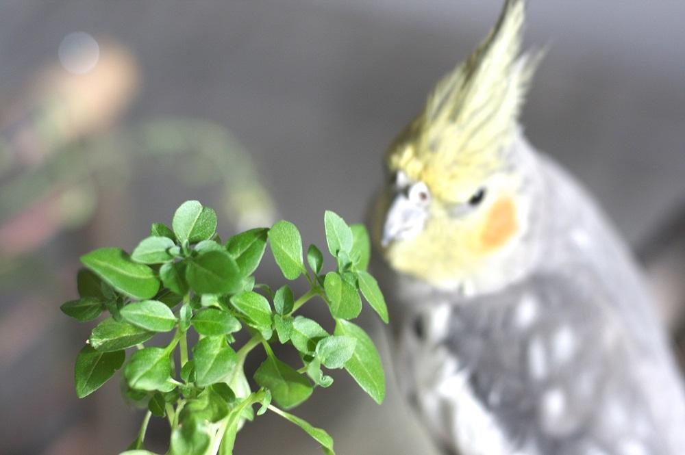 Cockatiel with basil sprig.