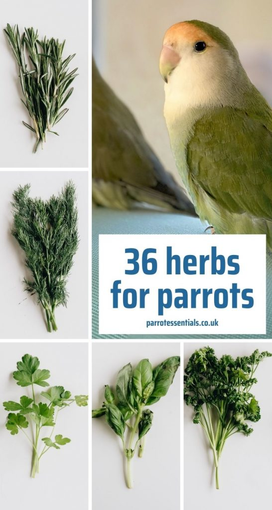 36 herbs for parrots